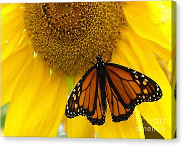 Monarch And Sunflower Canvas Print by Ann Horn