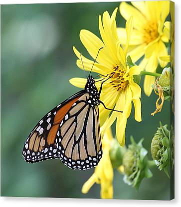 Canvas Print featuring the photograph Monarch Beauty by Doris Potter