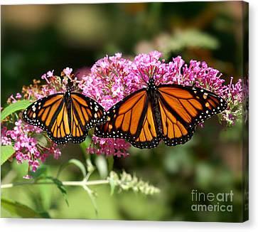 Monarch Butterflies Canvas Print by Liz Masoner