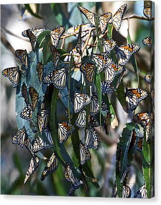 Monarch Butterflies Natural Bridges Canvas Print