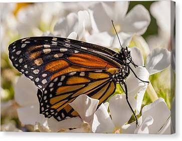 Nature Study Canvas Print - Monarch Butterfly by Adam Romanowicz