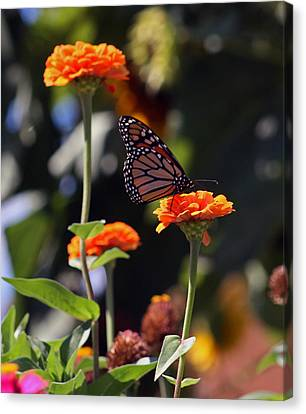 Monarch Butterfly And Orange Zinnias Canvas Print by Kay Novy
