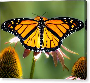 Monarch Butterfly Canvas Print by Bob Orsillo