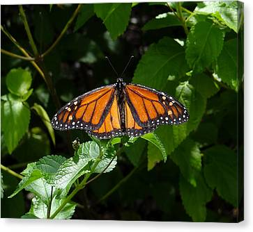 Monarch Butterfly Canvas Print by David Nichols