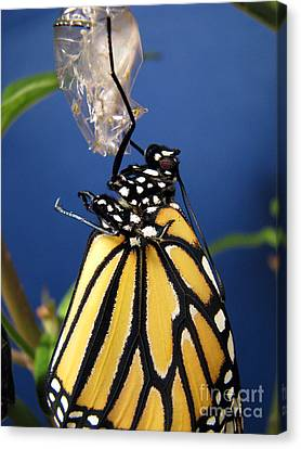 Monarch Butterfly Emerging From Chrysalis Canvas Print by Inspired Nature Photography Fine Art Photography