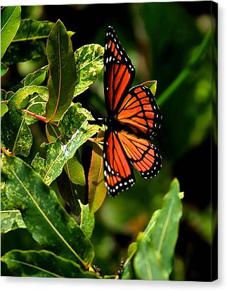 Viceroy Butterfly II Canvas Print