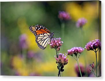 Monarch Butterfly In Field On Verbena Canvas Print by Karen Adams