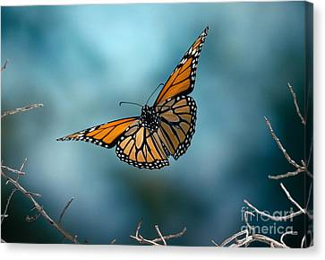 Butterfly In Motion Canvas Print - Monarch Butterfly In Flight by Stephen Dalton
