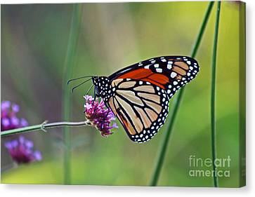 Monarch Butterfly In Garden Canvas Print by Karen Adams