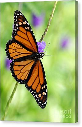 Monarch Butterfly In Spring Canvas Print