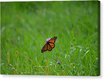 Canvas Print featuring the photograph Monarch Butterfly by James Petersen