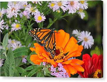 Monarch Butterfly Canvas Print by Katie Wing Vigil