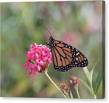 Monarch Butterfly Canvas Print by Kim Hojnacki