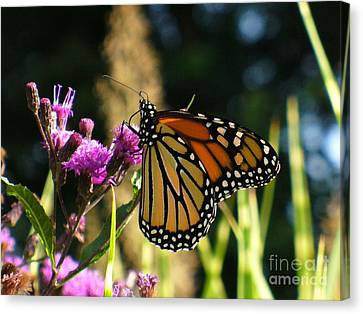 Canvas Print featuring the photograph Monarch Butterfly by Lingfai Leung