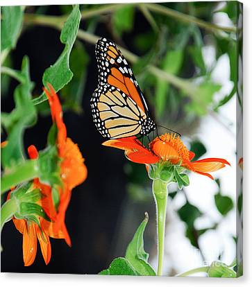 Feeding Canvas Print - Monarch Butterfly On Orange Flower by Andee Design