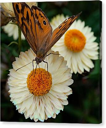 Monarch Butterfly On Paper Daisy Canvas Print by Patrick OConnell