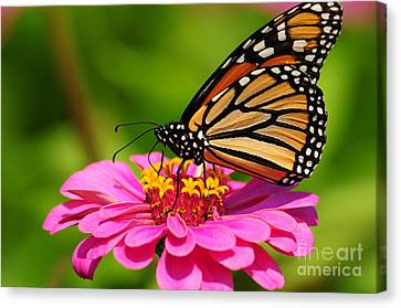 Canvas Print featuring the photograph Monarch Butterfly On Zinnia by Olivia Hardwicke