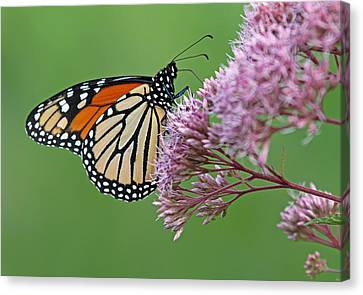 Monarch Butterfly Photography Canvas Print by Juergen Roth