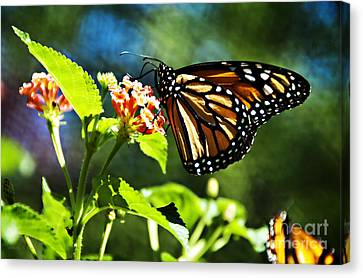 Monarch Butterfly Resting On A Flower Canvas Print by Nancy E Stein