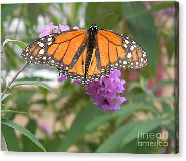 Monarch Butterfly Suckling A Flower Canvas Print