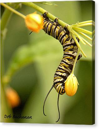 Monarch Caterpillar Canvas Print