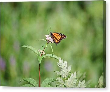 Canvas Print featuring the photograph Monarch by David Porteus