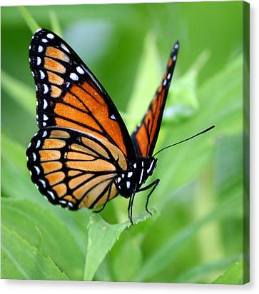 Monarch Dreaming  Canvas Print by Neal Eslinger