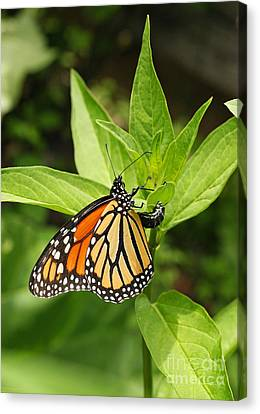 Monarch Egg Time Canvas Print by Steve Augustin