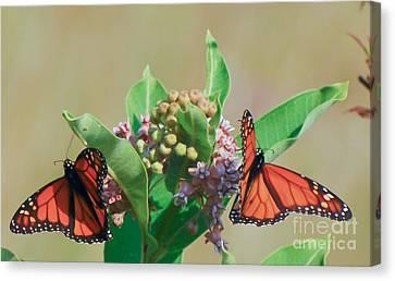 Monarch Gathering Canvas Print by Kerri Farley
