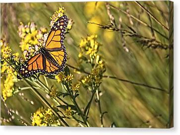 Monarch Hatch Canvas Print