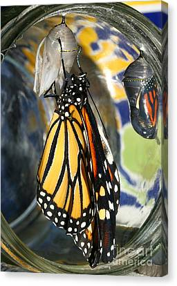 Monarch In A Jar Canvas Print by Steve Augustin