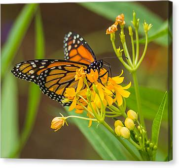 Canvas Print featuring the photograph Monarch by Jane Luxton