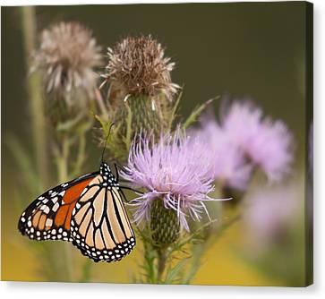 Monarch Canvas Print by Jim Finch