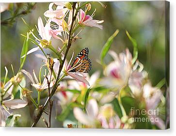 Monarch Canvas Print by Kevin Ashley