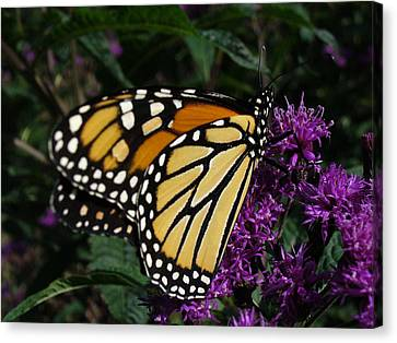 Canvas Print featuring the photograph Monarch by Lingfai Leung