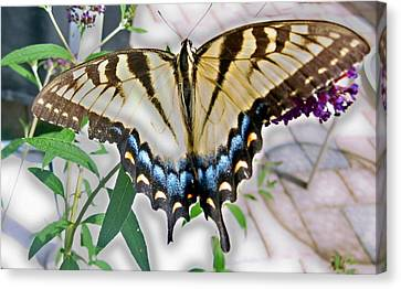 Monarch Majesty Canvas Print by Judith Morris