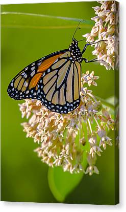 Monarch Nectaring Canvas Print