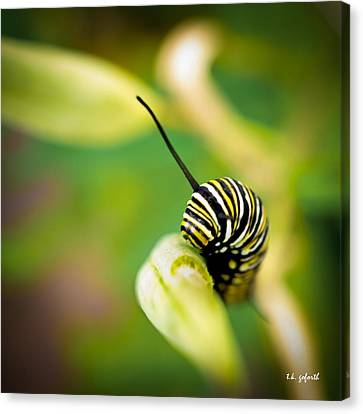Canvas Print featuring the photograph Monarch Offspring Squared by TK Goforth
