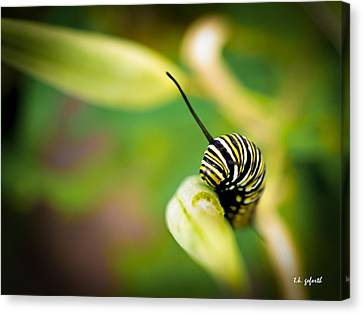 Canvas Print featuring the photograph Monarch Offspring by TK Goforth