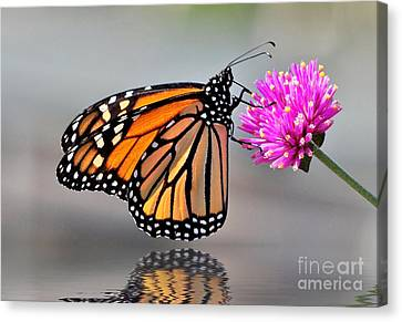 Canvas Print featuring the photograph Monarch On A Pink Flower by Kathy Baccari