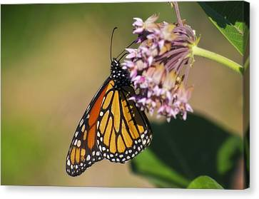 Monarch On Milkweed Canvas Print by Shelly Gunderson