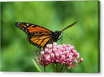 Monarch On Pink Wildflower Canvas Print