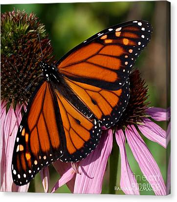 Canvas Print featuring the photograph Monarch On Purple Coneflower by Barbara McMahon