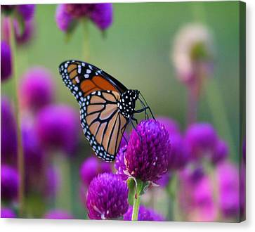 Monarch On Purple Flowers Canvas Print