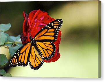 Monarch On Rose Canvas Print by Debbie Karnes