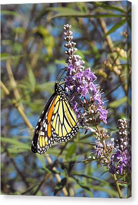 Monarch On Vitex Canvas Print by Jayne Wilson