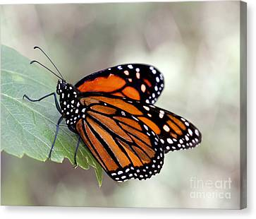 Monarch Resting On A Leaf Canvas Print by Ruth Jolly