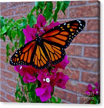 Monarch Canvas Print by Sarah Mullin