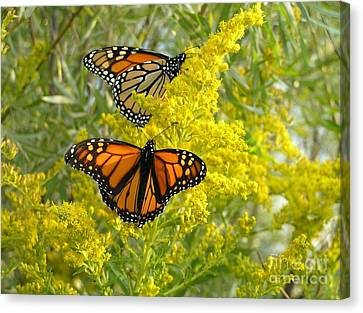 Monarchs On Goldenrod Canvas Print