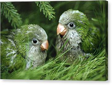 Parakeet Canvas Print - Monk Parakeet Chicks by Paul J. Fusco